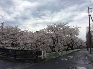 鳥取みどり園前 桜満開