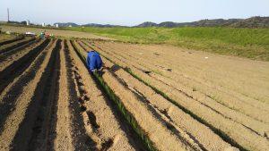 植え付け開始から 10時間が経過。植え付けた苗を1本ずつ、垂直になるよう点検をします。
