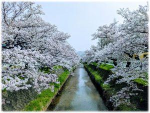鳥取こども学園 桜